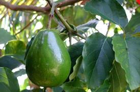 Масло авокадо. Нерафин-е