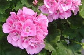 Эфирное масло герани розовой