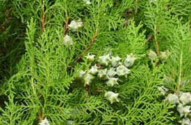Эфирное масло кипариса вечнозеленого (шишка, лапка)