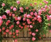 Отдушка Роза садовая