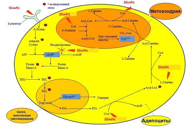 Антицеллюлитный актив SlimFit - slimfit 2 - 5